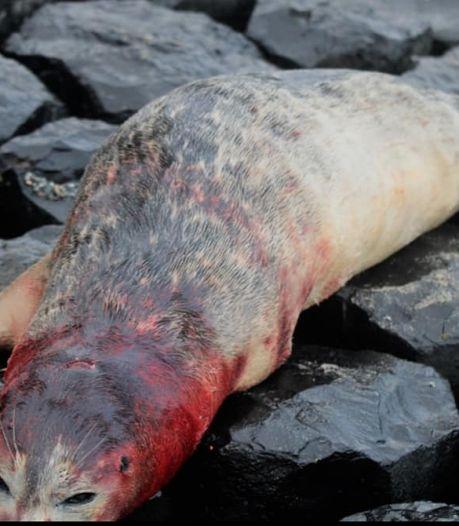 """Zeehond doodgebeten op het strand: """"Kom hier niet met honden!"""""""
