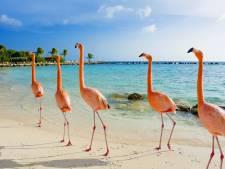 Droombaan: betaald worden om flamingo's te verzorgen op de Bahama's