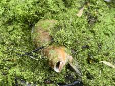 Massale vissterfte Grave door te weinig zuurstof in water