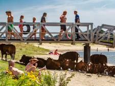 Koe en mens zoeken verkoeling langs de IJssel bij Deventer