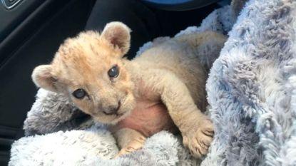 Franse douane ontdekt leeuwenwelpje in autowerkplaats