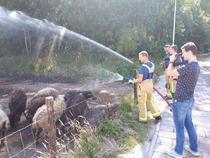 Wolvarkens krijgen een douche van de brandweer