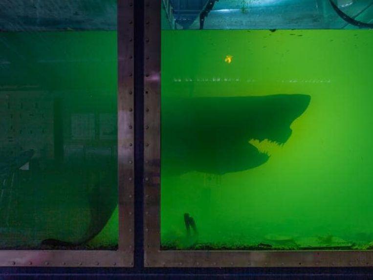 De mensenhaai op sterk water die gevonden werd in een verlaten dierenpark nabij Melbourne heeft een nieuwe thuis gekregen.